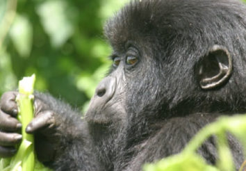 Nyungwe Forest & The Gorillas