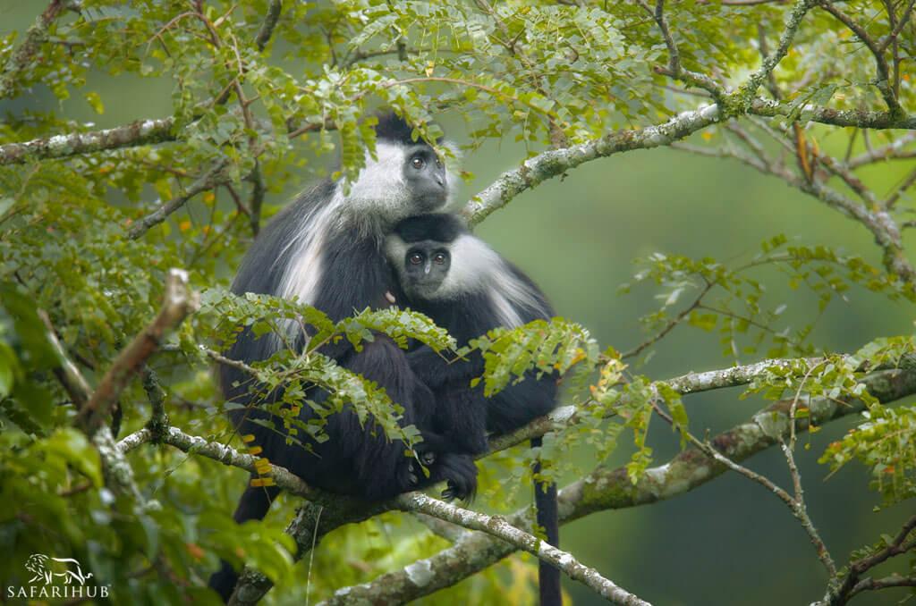 Chimp Trekking in Nyungwe Forest