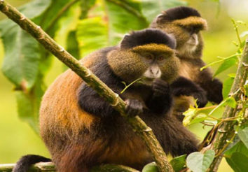The Virunga Primates