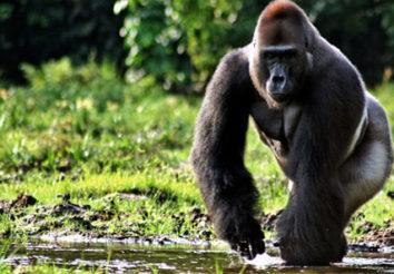 Virunga Primates & Lake Kivu