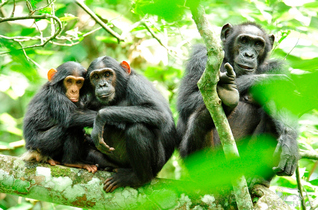 Chimp trekking in Kibale Forest National Park