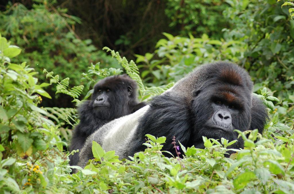 Gorilla Tracking Tour in Bwindi Gorilla Forest