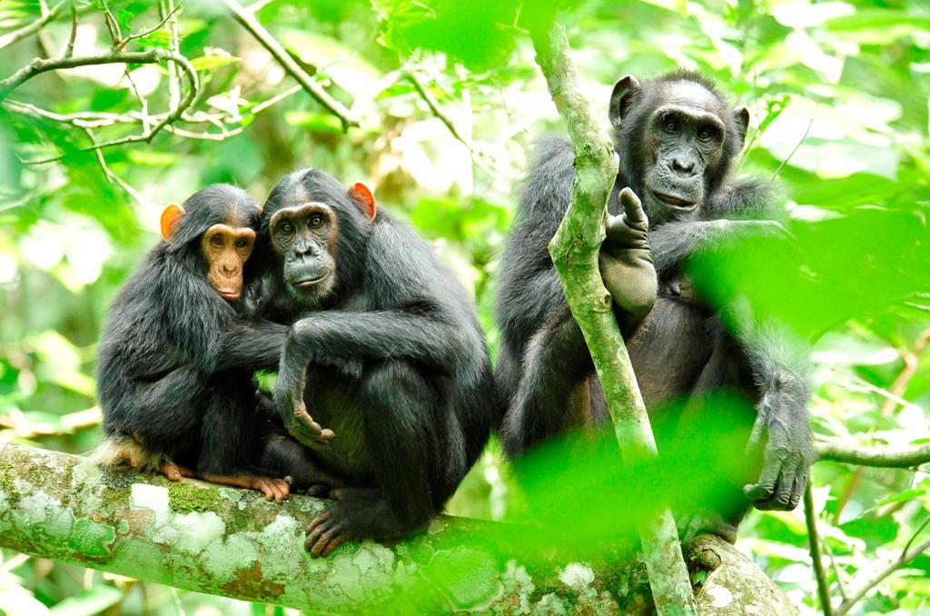 Chimpanzee tracking & Bigodi Swamp Walk