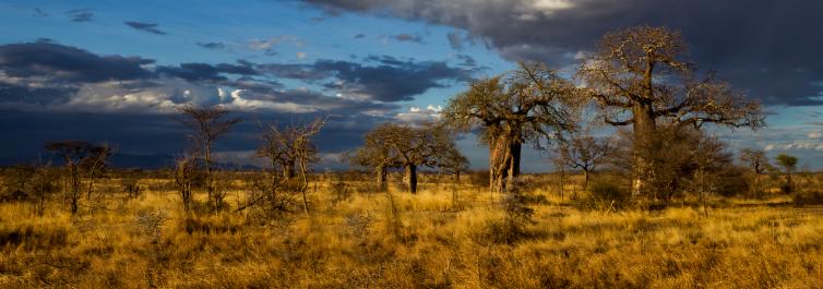 Old Massive Baobab trees - Safarihub