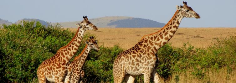 Giraffe - Safarihub