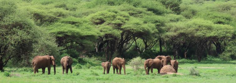Elephants - Safarihub