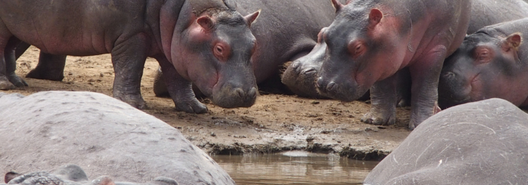 Hippo Pool - Safarihub