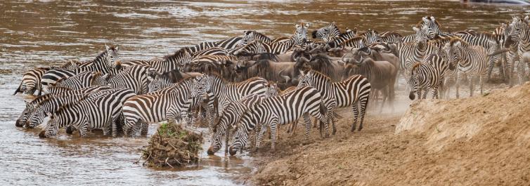 migration safari - Safarihub