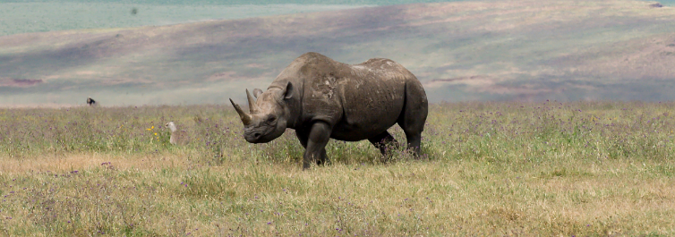 Black Rhino - Most Endangered Animals in Africa