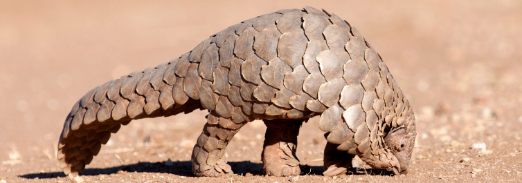 Pangolins - Most Endangered Animals in Africa