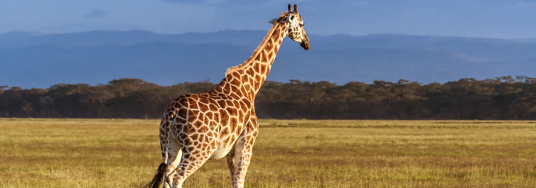 Rothschild`s Giraffe - Most Endangered Animals in Africa