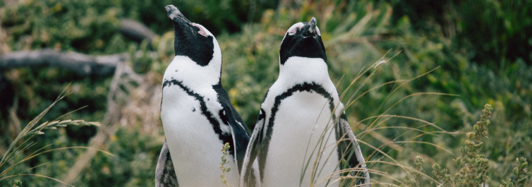 African Penguin - Most Endangered Animals in Africa