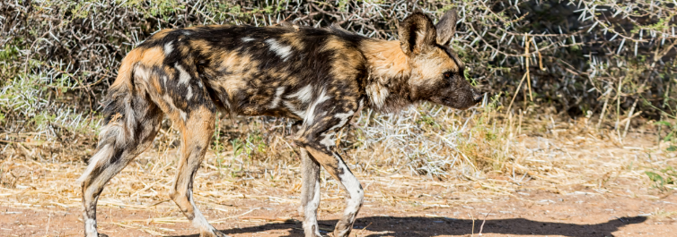 African wild dogs - Most Endangered Animals in Africa