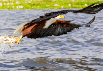 8 Interesting Facts About the African Fish Eagles